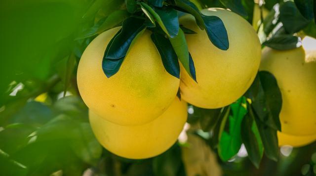 秋天常吃柚子好处多!但专家提醒:有3种情况的人一口也别多吃