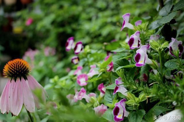 夏堇花,耐热又耐晒,从夏开到秋,好看又好养,一株也能开爆盆!